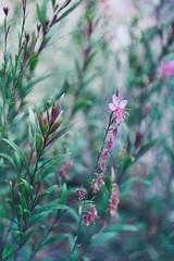 Helios 44-M6 (fani_iglesias) Tags: flowers botanical naturephotography nature bokeh oldlenses vintagelenses russianlenses sovietlenses helios44m6