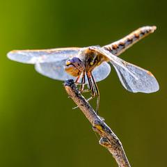 Dragonfly up close and personal (Old as you feel, Fujinite) Tags: dragonfly insect macro closeup bokeh nature outdoor outside twig fuji xt3 fujinon 100400 california davis green perch