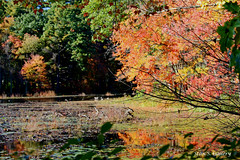 Autumn Colors 2018 - 24 (Stan S. Gallery) Tags: autumn fall fallcolors october water waterscape pond bog trees leaves landscape wet wetreflections waterlillies woods forest canonrebel colors