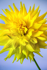 Exploding Yellow Dahlia 3-0 F LR 9-30-18 J025 (sunspotimages) Tags: flower flowers dahlia dahlias yellow yellowflower yellowflowers yellowdahlia yellowdahlias nature