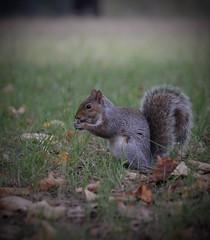 Autumn (giuselogra) Tags: squirrel autunno autumn torino turin animals animali nature naturepics scoiattoli piedmont piemonte italia italy