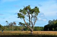 Anloo, heide met dennenboom, Nederland Drenthe 2018 (wally nelemans) Tags: anloo heide dennenboom nederland holland thenetherlands drenthe 2018