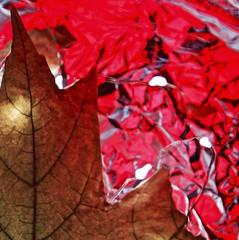 macro monday: crinkled, wrinkled, folded, or creased (William Arlen) Tags: macro monday