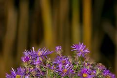 By The Water (jah32) Tags: purple purpleflowers cmwdpinkorpurple bokeh lines light
