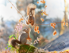 red squirrels standing on a branch with dried flowers (Geert Weggen) Tags: animal autumn bright bud cheerful closeup cute flower foodanddrink horizontal humor land lightnaturalphenomenon mammal moss mushroom nature perennial photography plant red rodent springtime squirrel summer sweden fun fight fall couple young heath branch leaves reach camouflage rock top above high up lupine climb bispgården jämtland geert weggen seweden ragunda