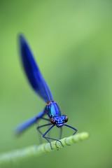 Immenkorento -  Calopteryx splendens - Banded demoiselle damselfly (Henri Koskinen) Tags: immenkorento calopteryx splendens banded demoiselle damselfly sudenkorento dragonfly odonata 31052018 espoo finland