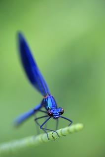 Immenkorento -  Calopteryx splendens - Banded demoiselle damselfly