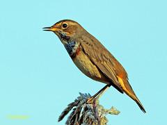 Luscinia svecica (Ruiseñor pechiazul) (43) (eb3alfmiguel) Tags: vecica luscinia pechiazul ruiseñor aves pajáros passeriformes turdidae hierba pájaro madera animal