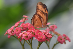 coral and copper.jpg (remiklitsch) Tags: coral flower copper butterfly nikon remiklitsch nature