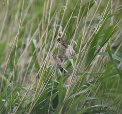 Two of a kind (jpotto) Tags: uk lancashire reedbunting bunting rspb leightonmoss bird birds