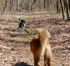 Spurs vs Barca (krossbow) Tags: maryland prince georges county chapman state park potomac panasonic lumix tz90 zs70 dogs canines rescue luckydogdc mixbreed leaves leash path