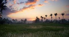 balisunrise (jsvamm) Tags: ifttt 500px bali sunrise sun dawn copse tree grass field meadow idyllic sky green sunset summer clouds blue trees beautiful travel beauty forest