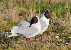 Black-headed Gulls (gillybooze) Tags: ©allrightsreserved bird gull birdwatcher blackheadedgull grass shore shell stones birds feathers outdoor pair wildlife outside marsh