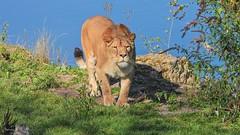 Lionne - 5993 (ΨᗩSᗰIᘉᗴ HᗴᘉS +27 000 000 thx) Tags: fauve lionne animal hensyasmine namur belgium europa aaa namuroise look photo friends be wow yasminehens interest intersting eu fr greatphotographers lanamuroise