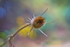 Death of a Thistle (brady tuckett) Tags: minolta rokkor pf 58mm f14 bradytuckett brady tuckett colors color bokeh thistle thistles plant plants macro macros manualfocus minoltarokkorpf58mmf14 light nature natural autumn fall