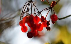 Berries (Nephentes Phinena ☮) Tags: autumn berries hasenmoor herbst nikond500 sigma50500mmf463
