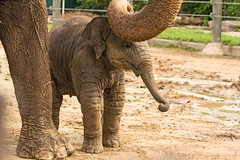 A Pat on the Head (Ellsasha) Tags: elephants zoo houstonzoo enclosure young babies baby parenting father captivity happiness security mammal animal