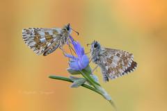 Pyrgus monelle (Raffaella Coreggioli ( fioregiallo)) Tags: natura fioregiallo nikon macro farfalla pyrgus fiori insetti giallo