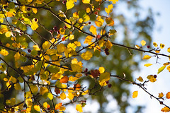 Autumn Hawthorn (oandrews) Tags: autumn canon canon70d canonuk colours hawthorn leaves nature naturereserve northamptonshire outdoors shortandsouthwickwoods shortwoodandsouthwickwood sunlight trees wildlifetrusts wildlifebcn wood woodland woods peterborough england unitedkingdom gb