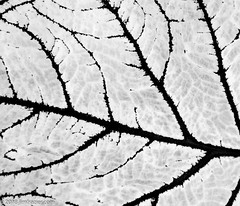 Black and White Leaf (Jim Frazier) Tags: publicgarden 2018 20180503cantignypark 4 bw abstract background backlit blackandwhite botanic botanicgarden botanicalgarden botanicalgardens cantigny cantignypark colorfield desaturated desktop dupage dupagecounty flora gardens glasshouses greenhouse horticulture il illinois jimfraziercom leaf leaves may monochrome museum nature nursery park parks plants powerpoint preserve q4 spring veins wallpaper wheaton nurseries f10 instagram
