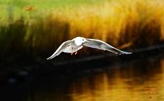 Seagull in flight (Jurek.P) Tags: birds bird birdsinflight ptaki ptak mewa citypark kępapotocka warsaw warszawa poland polska water jurekp sonya77