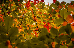 Autumn Leaf (A, Robson) Tags: red deciduous sunlight sky leaf nature tree outdoors horizontal colorimage plant lightnaturalphenomenon nopeople colors branchplantpart day nonurbanscene