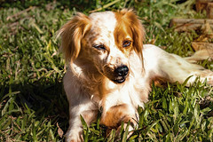 (Steh Monteiro) Tags: dog puppy portrait retrato cão cachorro cãozinho cachorrinha cachorrinho filhote cadela animal de estimação doméstico furry peludo peluda cute fofo fofa friend amigo nikond3300 55mm garden jardim grass grama green orange verde life nikon d3300 nikkor