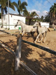 4 (redi3103) Tags: egyptian arabian horse for sale buy champion