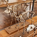 Gazelle dorcas momifiée