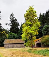 barns (ekelly80) Tags: washington august2018 summer bloedelreserve bainbridgeisland green gardens walk tree light yellow barns path wood wooden forest trees trail