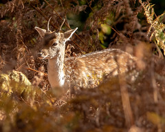 hiding in the undergrowth (westoncfoto) Tags: deerpark fallow red parkland autumn