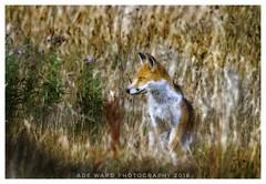 Posing Fox (awardphotography73) Tags: forestfarm wales scenery nature animal wildlife cardiff fox