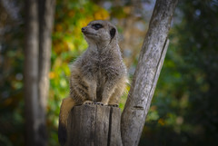 Pose ... (Julie Greg) Tags: animal nautre trees pose canon animals meerkat