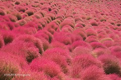 Red Kochia Carnival at Hitachi Seaside Park (_TAKATEN_) Tags: 70mm sony alpha a7rii a7rm2 sigma mc11 kochia