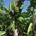 Uzakan_Entire plant