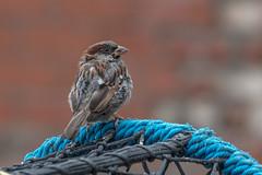 Le dessus du panier (Giloustrat) Tags: pentax k70 moineau sparrow bokeh bleu panier uk natureinfocusgroup