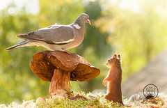 wood pigeon is standing on a mushroom with red squirrel (Geert Weggen) Tags: animal autumn bright bud cheerful closeup cute flower foodanddrink horizontal humor land lightnaturalphenomenon mammal moss mushroom nature perennial photography plant red springtime summer sweden tasting toadstool fun fight fall couple attack young dove bird wood pigeon fly wing air squirrel rodent bispgården jämtland geert weggen ragunda hardeko