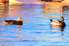 Couple of ducks (thomasgorman1) Tags: duck ducks couple nature nikon water river az arizona colorado wildlife colors