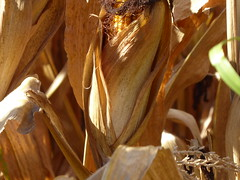 corn (army.arch) Tags: corn fall dry champaign illinois il