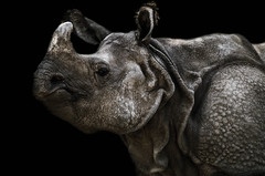 Carapace (Scholt's) Tags: nikon nikond7000 rhino rhinoceros animal zoo beauval zoobeauval noir black background peau skin