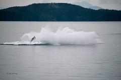 Humpback 6 (rwerman) Tags: whale humpback humpbackwhale breach