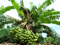 P1001243 (Sammy!) Tags: 竹富島 taketomi tropical banana バナナの木 沖縄 okinawa bananatree 琉球 ryukyu