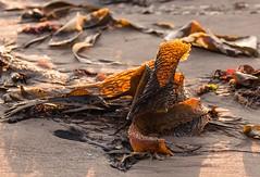 Golden Seaweed - Banff Beach, Scotland. (Different Aspects) Tags: sunset seaweed beach golden