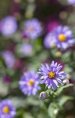 Colori d'autunno (stgio) Tags: flowers fall purple aster settembrini macro stillife october giardino gardening fiore