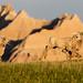 Playing Bighorn Sheep
