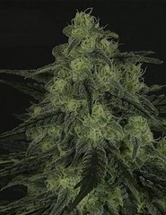 xblack_valley.jpg.pagespeed.ic.zCLGkLNR47 (Watcher1999) Tags: black valley cannabis kush candy cane medical marijuana seeds growing strain plant weed weeds smoking ganja legalize it