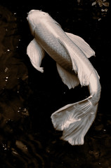 4_Assign_Palffy-Koi Butterfly (jpalffy6188) Tags: bw photoshop koi butterfly fish water new fun yellow pastel whimsical tacoma color texture blackandwhite carp macro underwater animal