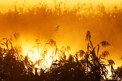 Explosion of Light (Johan Konz) Tags: sunrise explosion light reflection reed mist landscape sky outdoor nikon d7500 purmerend netherlands monochrome bokeh fog