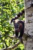 _DSC0303 (Gatol fotografia) Tags: tejón tejon animal chapare ecológico mamífero bolivia cochabamba