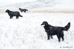 Plunged Back into Narnia (Blazingstar) Tags: snow dogs retrievers alberta fall winter